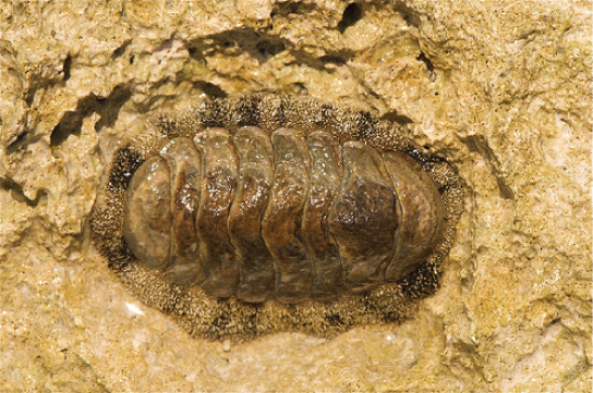 The photo shows a chiton, which has an oval body with plate-like armor divided into segments.