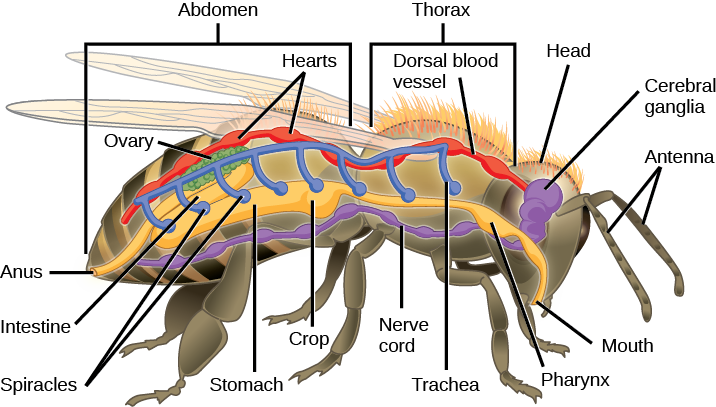 7 startling facts about insects glopinion glbrain rather than closed vessels such as arteries and veins shuttling blood around insects have an open circulatory system ccuart Gallery