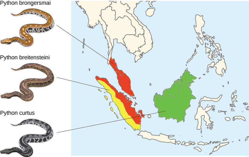 A map shows the distribution of three python species. Python brongersmai, a brown snake with highly contrasting patterns of yellow-beige and black spots, is found in the southern tip of Thailand, Peninsular (West) Malaysia, and the eastern half of Sumatra. Python breitensteini has less contrast in the pattern of its skin, with patches of light yellow to medium brown and dark brown. It is found in western Sumatra. Python curtus is similar to breitensteini, but is much darker, almost black with visible pattern. It is found on the island comprised of Borneo, Brunei, and East Malaysia.