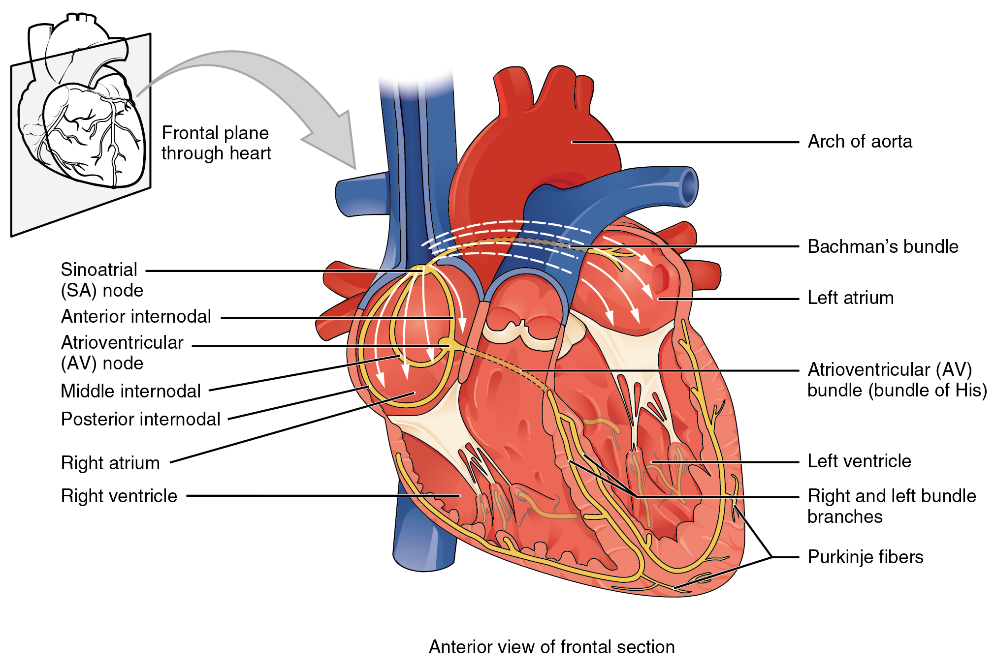 Cardiac Muscle and Electrical Activity - Anatomy & Physiology ...