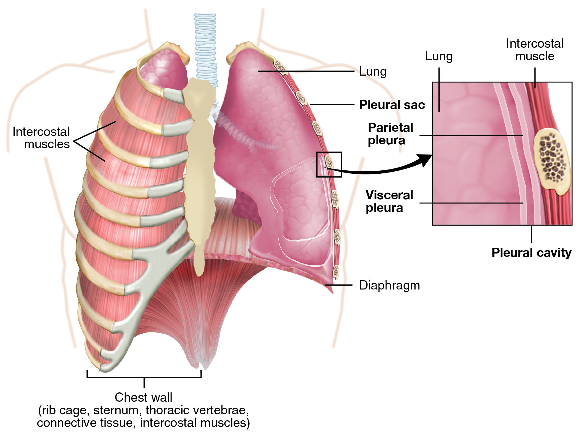 The Lungs Anatomy Physiology Openstax Cnx