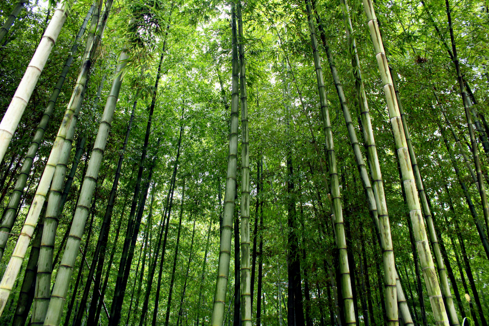 An upward view of bamboo trees