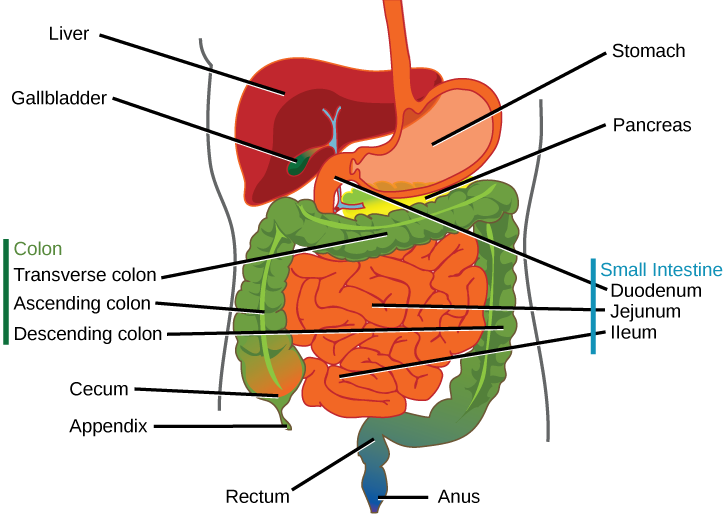 illustration shows the human lower digestive system, which begins with the  stomach, a sac