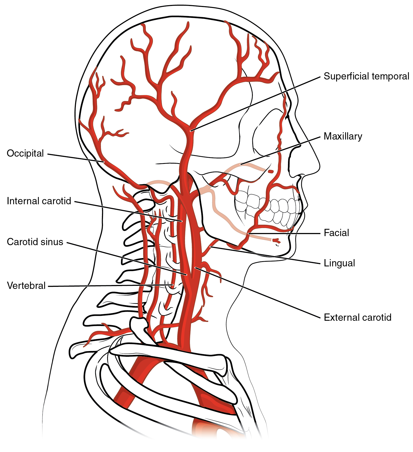This diagram shows the blood vessels in the head and brain.