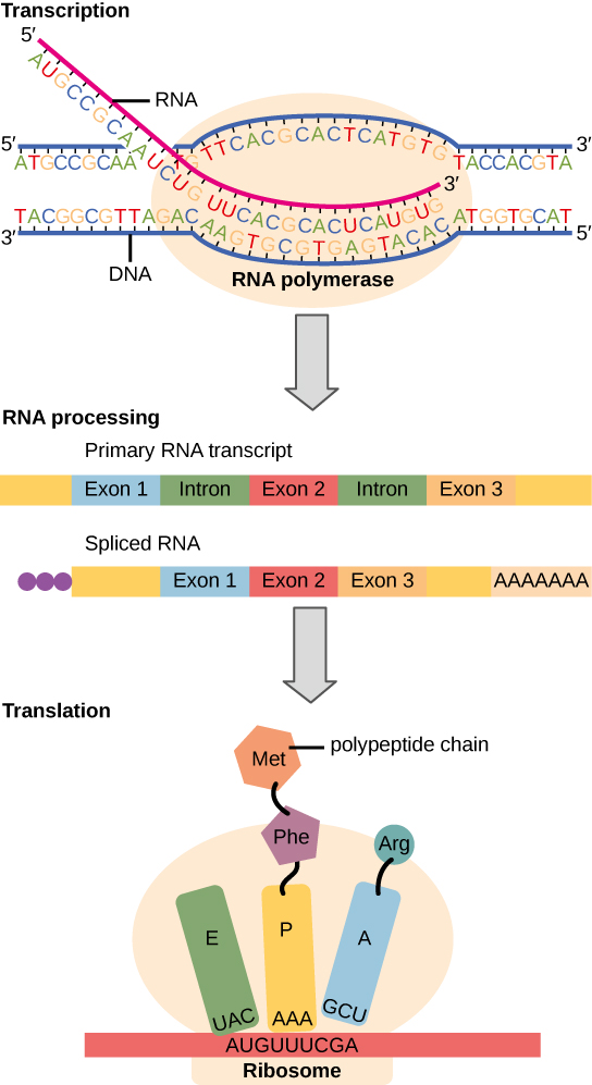 Instructions on DNA are transcribed onto messenger RNA. Ribosomes are able to read the genetic information inscribed on a strand of messenger RNA and use this information to string amino acids together into a protein.