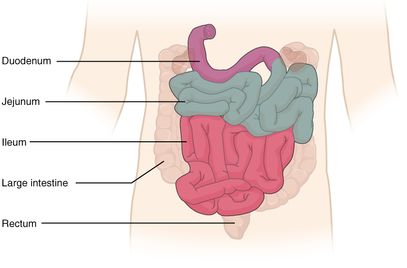 This diagram shows the small intestine. The different parts of the small intestine are labeled.