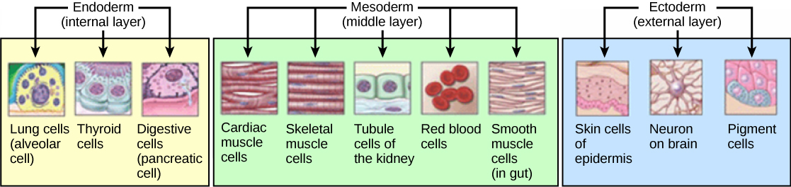 The three germ layers give rise to different cell types in the animal body