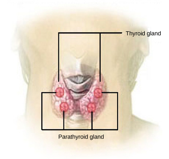 The parathyroid glands are round structures located on the surface of the right and left lobes of the thyroid gland. In the illustration shown, there are two parathyroid glands on each side, and one is located above the other.