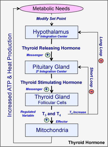 The Thyroid And Parathyroid Glands - Human Physiology - OpenStax CNX