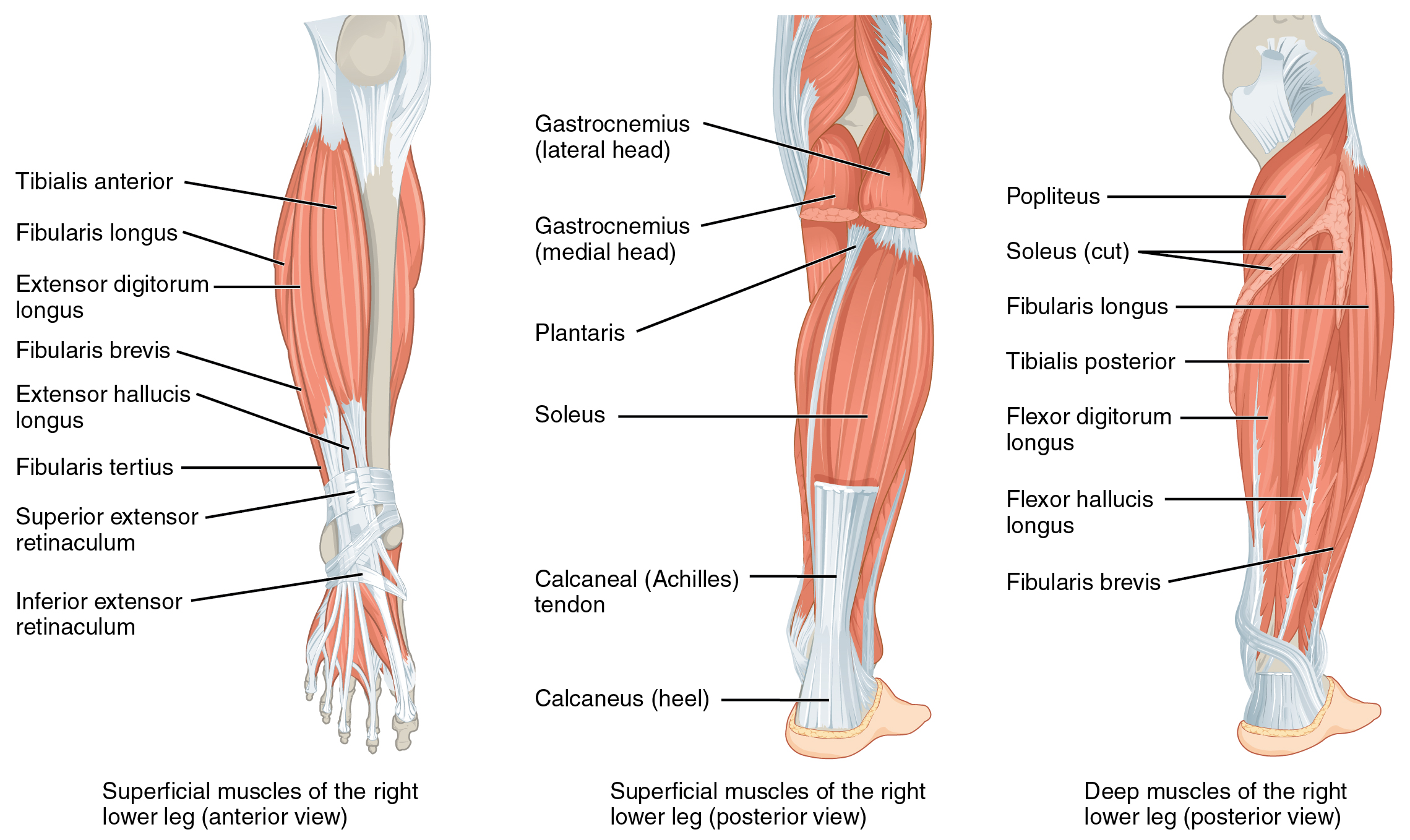 muscles of the lower leg and foot | human anatomy and physiology lab