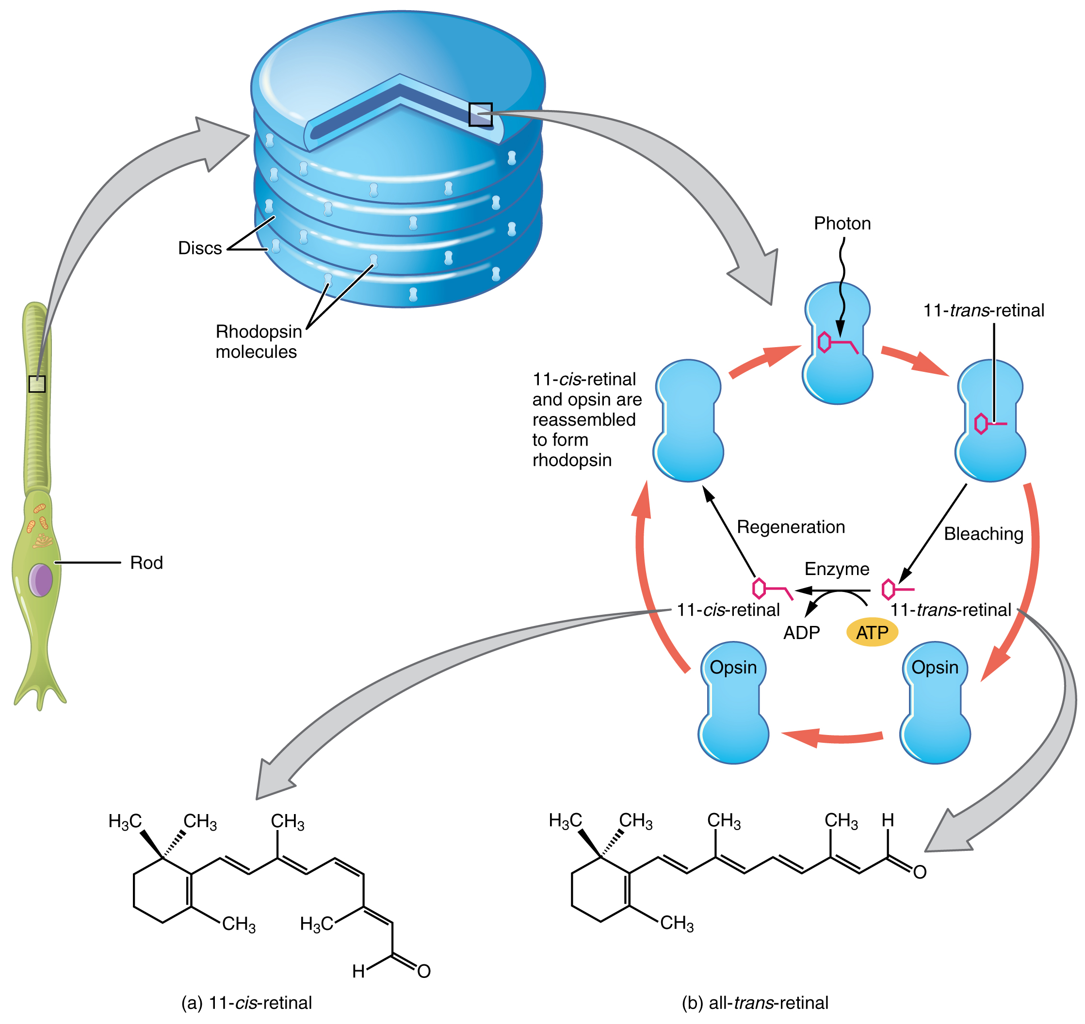 Diagrams to show the induced fit hypothesis of enzyme action  Biology Discussion