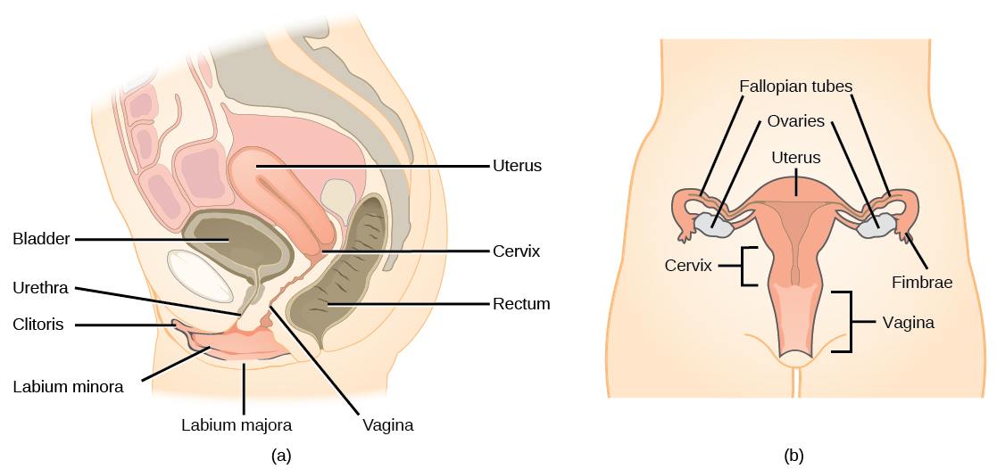 Human Male Reproductive System Side View More Information Djekova