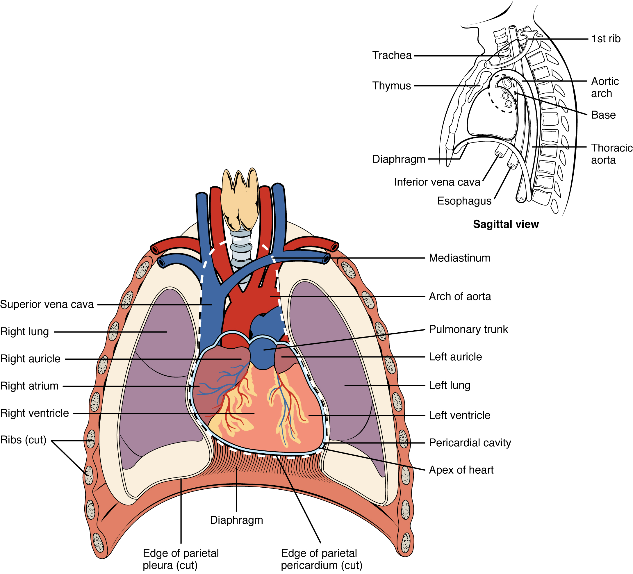 Uga anatomy and physiology 2 lab manual figure 192 position of the heart in the thorax ccuart Images