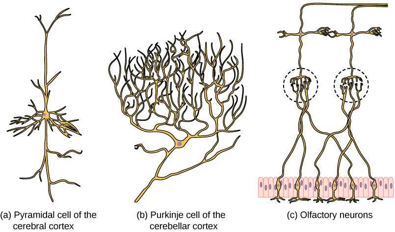 Part A shows a pyramidal cell with two long, branched projections on either end of the soma. Dendrites branch from either side. Part B shows a Purkinje cell with highly branched dendrites opposite the axon. Part C shows cells with long, thin axons. The dendrites are less branched than in pyramidal or Purkinje cells.