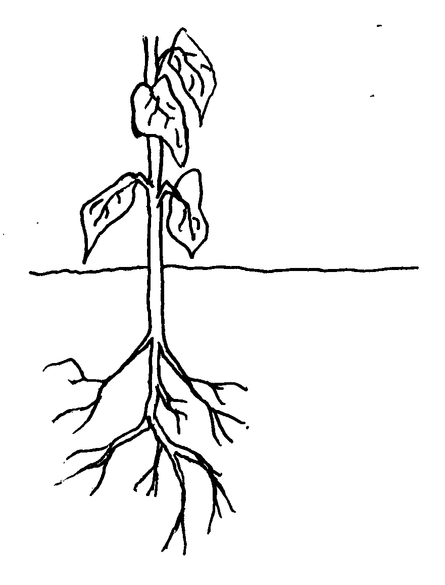 Displaying 19 gt  Images For - Plant Root System Diagram   Plant Roots Diagram