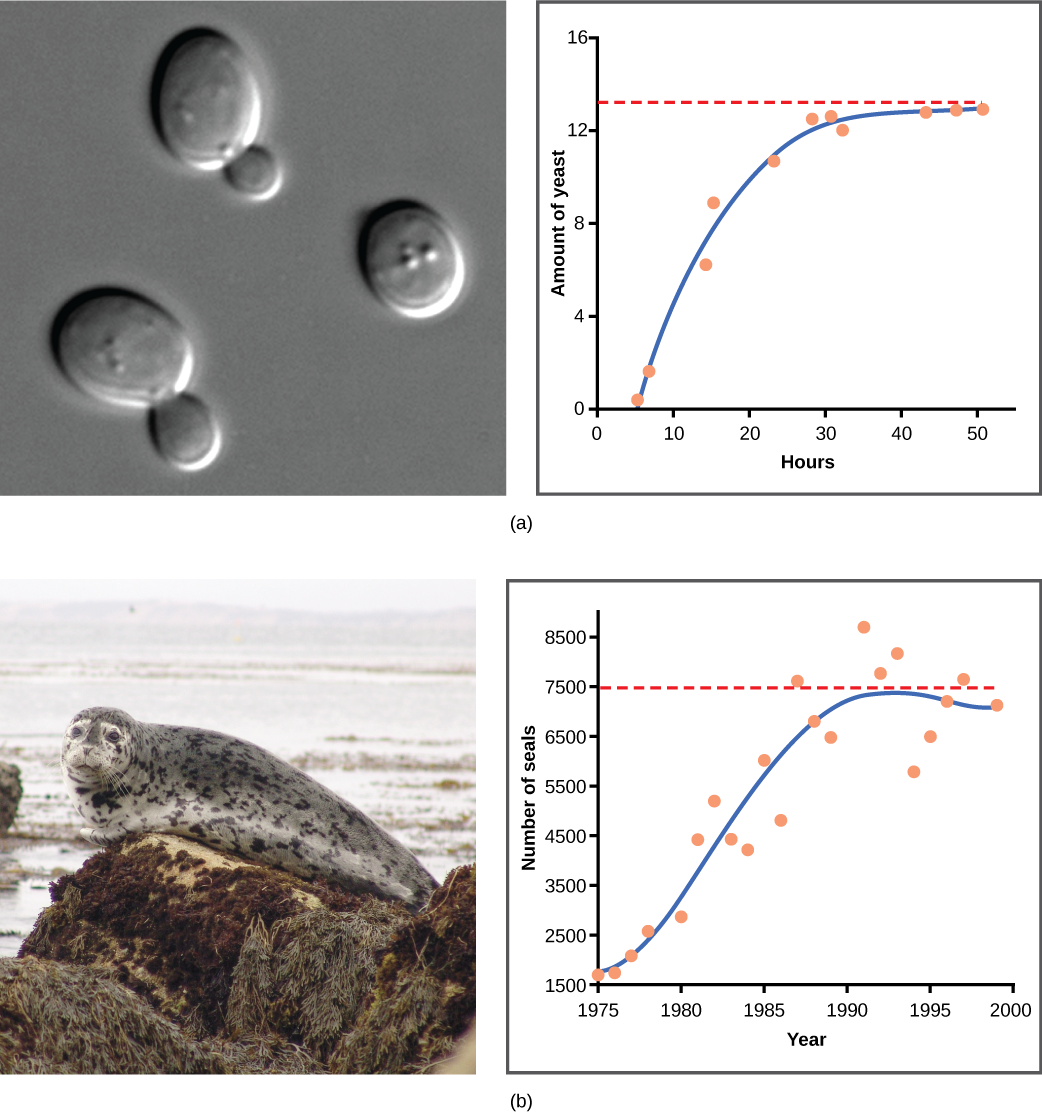 (a) Yeast grown in ideal conditions in a test tube show a classical S-shaped logistic growth curve, whereas (b) a natural population of seals shows real-world fluctuation.