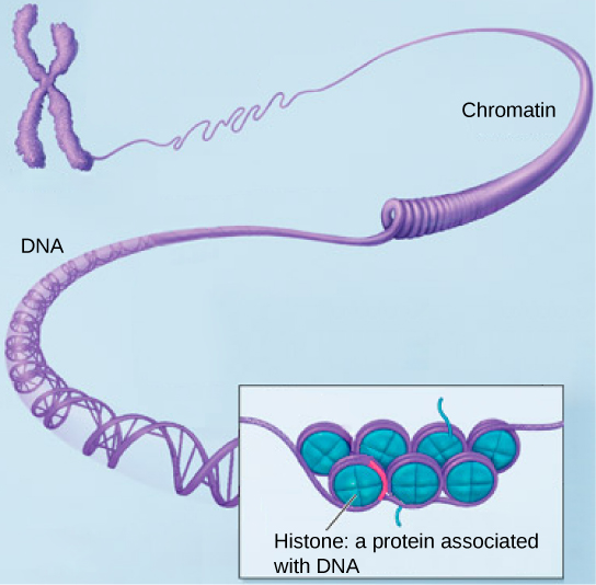 Part a: In this illustration, DNA tightly coiled into two thick cylinders is shown in the upper right. A close-up shows how the DNA is coiled around proteins called histones.