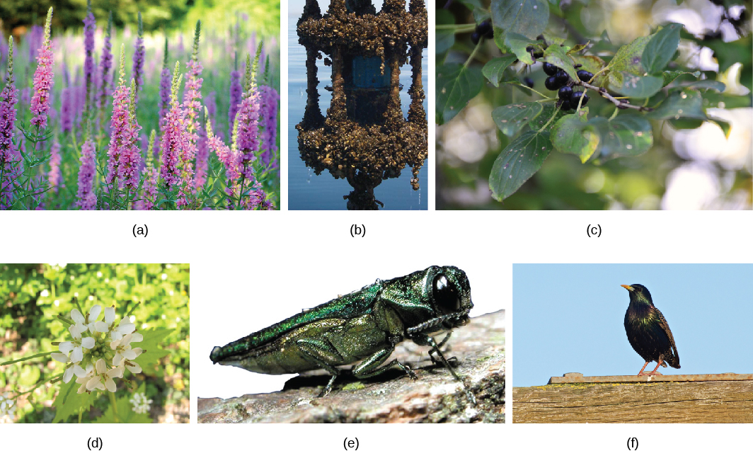 Photo A shows purple loosestrife, a tall, thin purple flower. Photo B shows many tiny zebra mussels attached to a manmade object in a lake. Photo C shows buckthorn, a bushy plant with yellow flowers. Photo D shows garlic mustard, a small plant with white flowers. Photo E shows an emerald ash borer, a bright green insect resembling a cricket. Photo F shows a starling.
