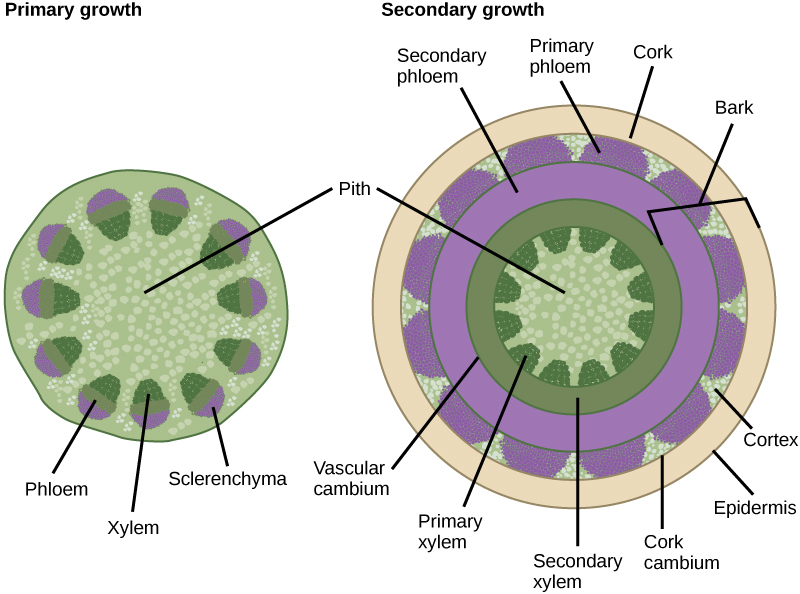 Toward the outside are egg-shaped vascular bundles. Xylem is located