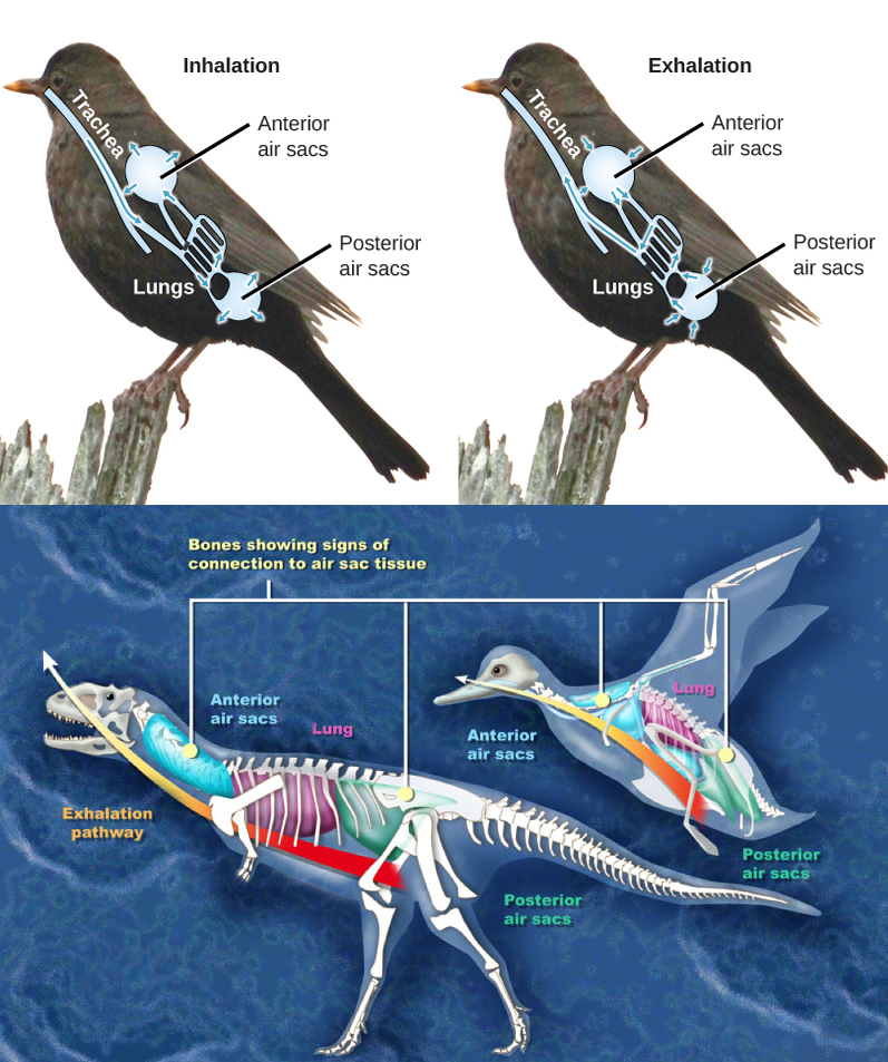 Illustration A shows the direction of airflow in both inhalation and exhalation in birds. During inhalation, air passes from the beak down the trachea to the posterior air sac located behind the lungs. From the posterior air sac, air enters the lungs, and the anterior air sac in front of the lungs. Air from both air sacs also enters hollows in bones. During exhalation air from hollows in the bones enters the air sacs, then the lungs, then the trachea, where it exits through the beaks. Illustration B compares a dinosaur and a bird. Both have anterior air sacs in front of the lungs, and posterior air sacs behind them. The air sacs connect to hollow openings in bones.