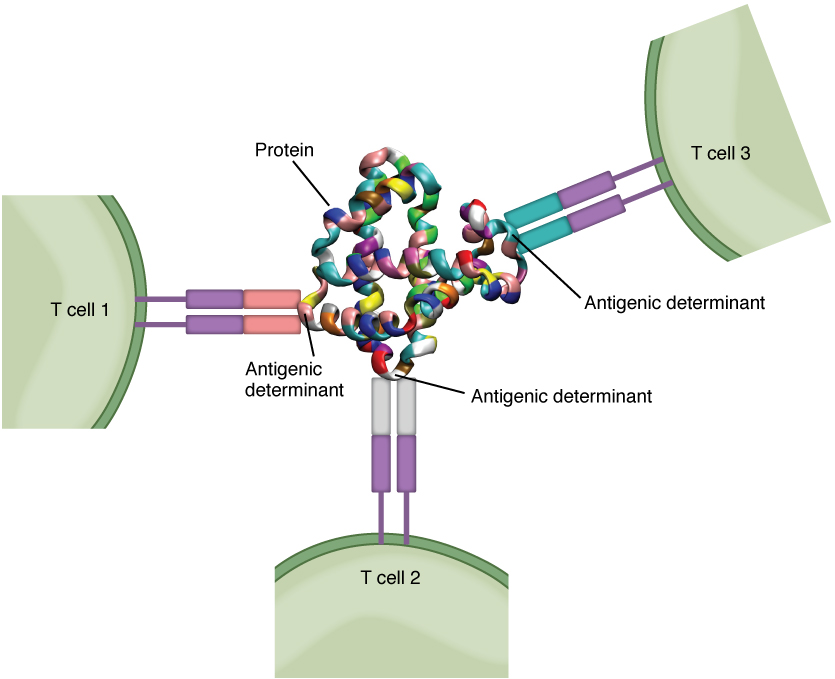 This figure shows three T cells and the antigenic determinants in the center.