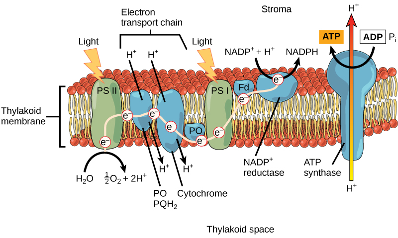 light dependent reactions of photosynthesis