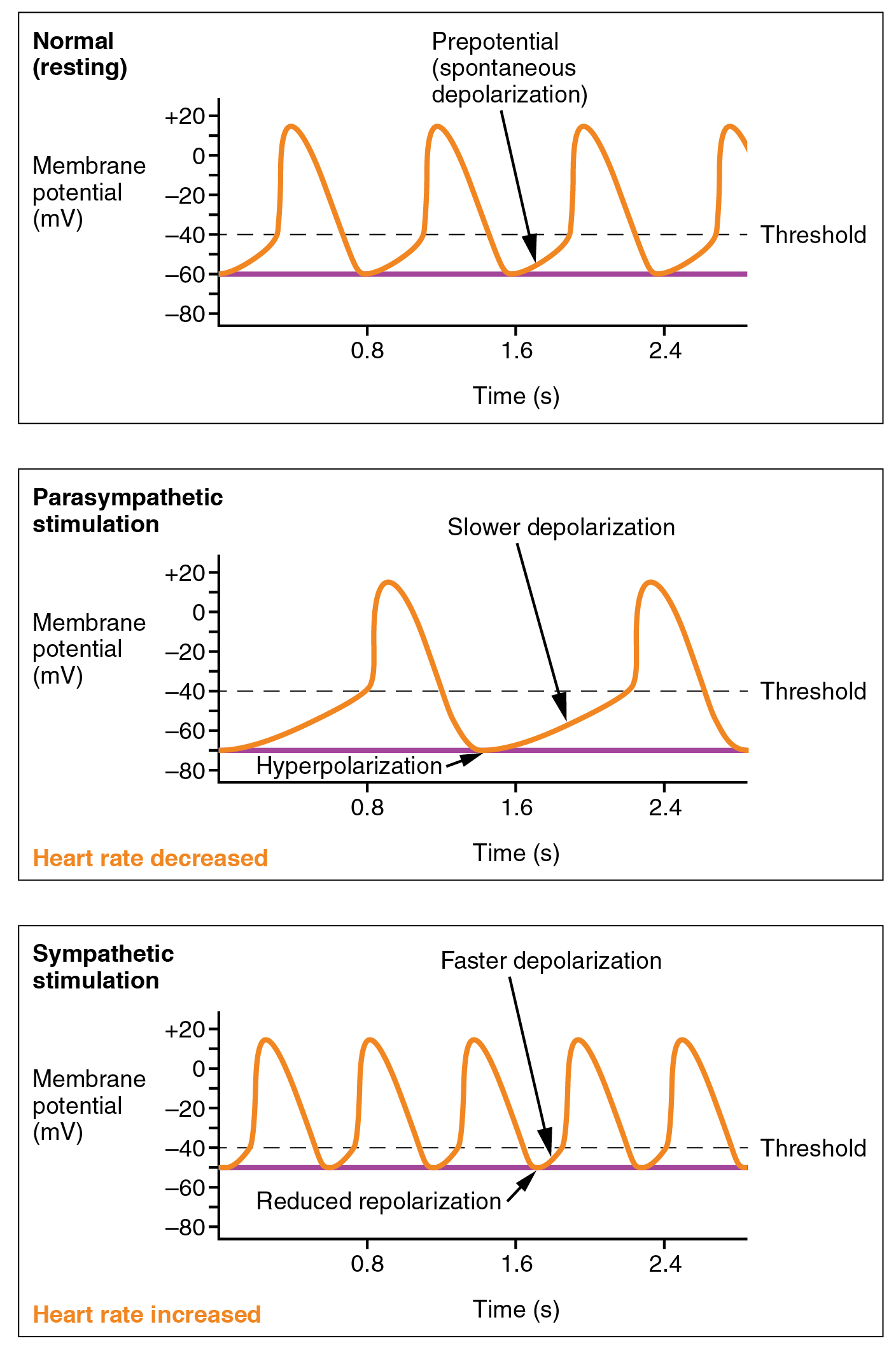 Luxury Action Potential Anatomy And Physiology Motif - Anatomy Ideas ...