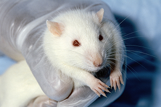 A photograph shows a rat.