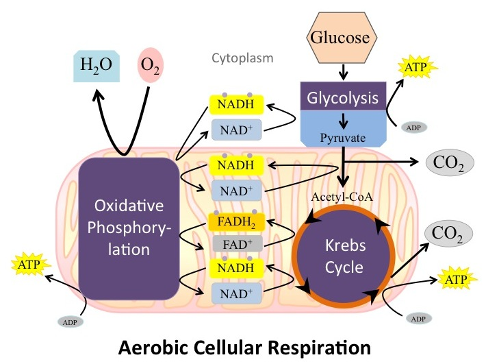 Overview Of Cellular Respiration Human Physiology Openstax Cnx