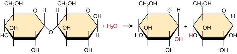 Shown is the breakdown of maltose to form two glucose monomers. Water is a reactant.