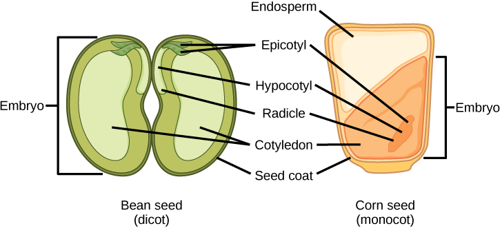 The structures of dicot and monocot seeds are shown