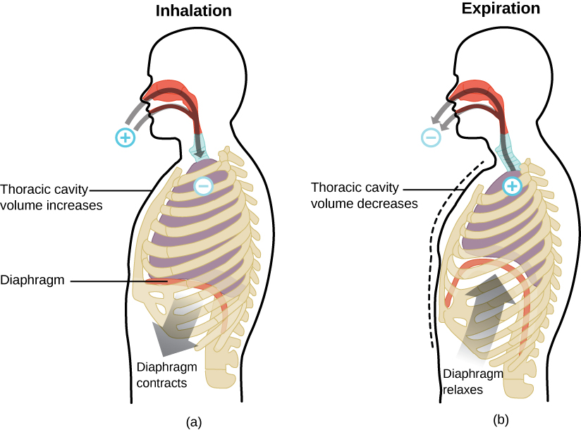 """Two figures of the human respiratory system are shown. The human labeled """"Inhalation"""" has a plus sign outside the nose and mouth with arrows pointing from the plus into the nose and mouth, down to the lungs where there is a negative sign. An arrow from the bottom of the diaphragm points toward the abdomen, labeled, """"Diaphragm contracts."""" There is also a line touching the chest with the text, """"Thoracic cavity volume increases."""" The human labeled """"Expiration"""" has a negative sign outside the nose and mouth with arrows pointing from the negative into the nose and mouth, down to the lungs where there is a plus sign. There is a dashed line imposed on the figure where the chest was on the """"Inhalation"""" figure and the solid line for this figure is to the inside of it. This is labeled with a line and the text, """"Thoracic cavity volume decreases."""" There is also an arrow from the abdomen up toward the lungs labeled """"Diaphragm relaxes."""" The lungs in this image are much smaller than that in the first."""
