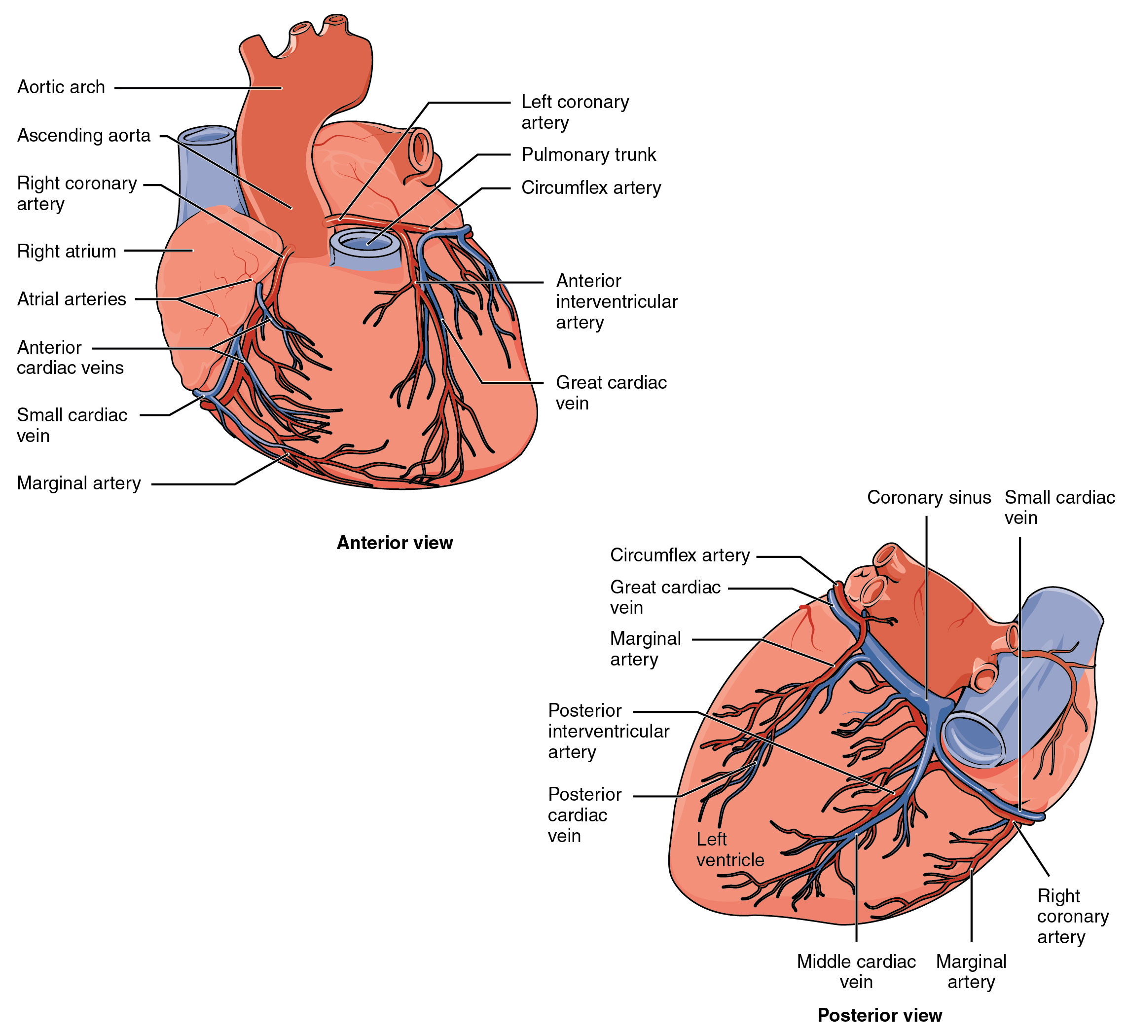 Heart Anatomy - Grade 11 Biology: Anatomy and Physiology - OpenStax CNX