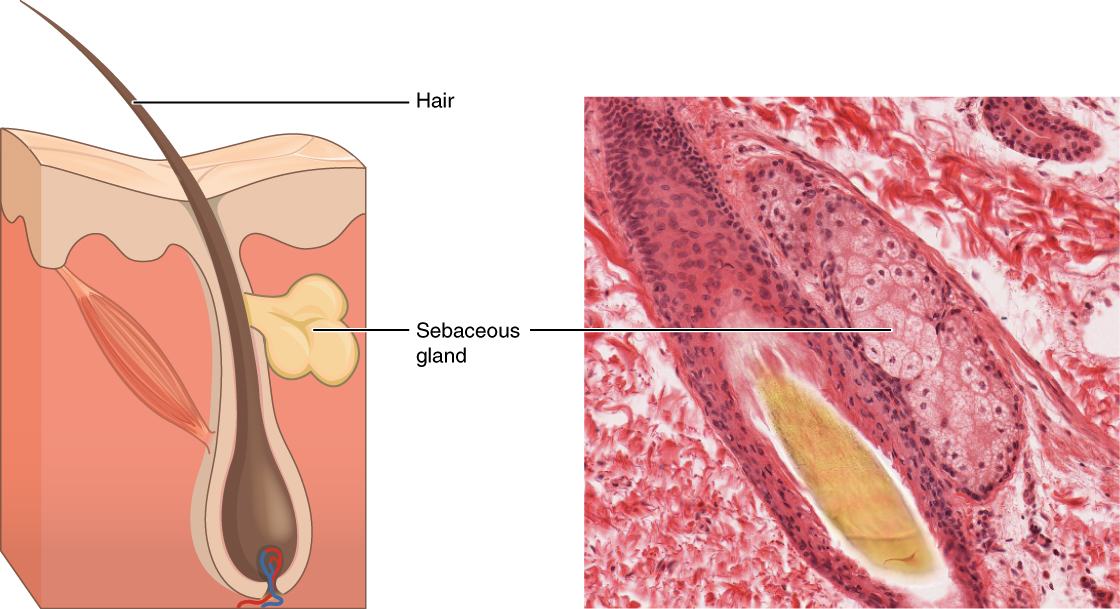 Image A depicts a cross section of the skin layers. The surface of the skin is at the top of the diagram, with the outer layer occupying about one fifth of the cross section. The outer layer has an irregular border with the inner skin layer, which occupies the remainder of the cross section. A hair follicle is embedded within the inner layer. However, the outer layer actually invaginates into the inner layer around the outside of the follicle, completely sheathing the follicle. The follicle has a bulb at its bottom that is connected to blood vessels. The hair projects from the bulb and travels through the sheath to erupt from the skin surface. The sebaceous gland is an irregular, yellow structure attached at the midpoint of the hair shaft near the border between the inner and outer layers of skin. Its duct actually connects into the side of the hair follicle. Image B shows a micrograph of a sebaceous gland connected to a hair follicle. The bulb of the hair follicle is evident in the micrograph as a bundle of cell surrounding the growing hair at its center. The sebaceous gland is connected to the right of the follicle bulb. The gland appears as an oval shaped mass of pink staining, cube shaped cells with purple nuclei.