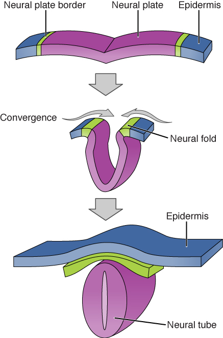 Illustration shows a flat sheet. The middle of the sheet is the neural plate, and the epidermis is at either end. The neural plate border separates the neural tube from the epidermis. During convergence the plate folds, bringing the neural folds together. The neural folds fuse, joining the neural plate into a neural tube. The epidermis separates and folds around the outside.