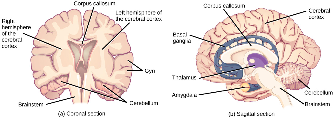 Illustration shows coronal (front) and sagittal (side) sections of a human brain. In the coronal section, the large upper part of the brain, called the cerebral cortex, is divided into left and right hemispheres. A cavity resembling butterfly wings exists between the left and right cortex. The corpus callosum is a band that connects the two hemispheres together, just above this cavity. The surface of the cerebral cortex contains bumpy protrusions called gyri. The cerebral cortex is anchored by the brain stem, which connects with the spinal cord. On either side of the brainstem tucked beneath the cerebral cortex is the cerebellum. The surface of the cerebellum is bumpy, but not as bumpy as the cerebral cortex. The sagittal section reveals that the cerebral cortex makes up the front and top part of the brain, while the brainstem and cerebellum make up the lower back part. The oval thalamus sits in the cavity in the middle of the cerebral cortex. The corpus callosum wraps around the top part thalamus. The basal ganglia wraps around the corpus callosum, starting at the lower front part of the brain and continuing three-quarters of the way around so the back end almost meets the front end. The basal ganglia is separated into segments that are connected along the top and bottom. The amygdala is a spherical structure at the end of the basal ganglia. This table lists examples and the location for different types of neurotransmitters.