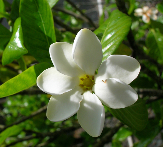 The photo shows a white flower with seven smooth, diamond-shaped petals radiating out from a yellow center. The flower is surrounded by waxy green leaves.