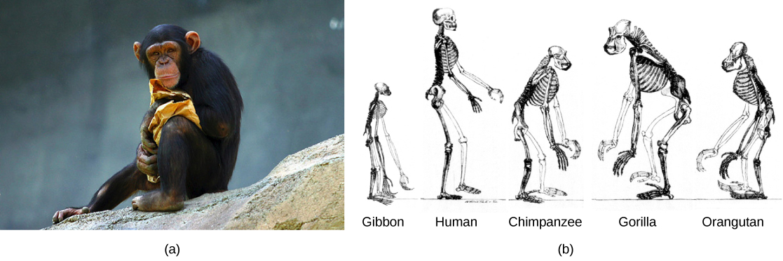 the evolution of primates | biology ii, Skeleton