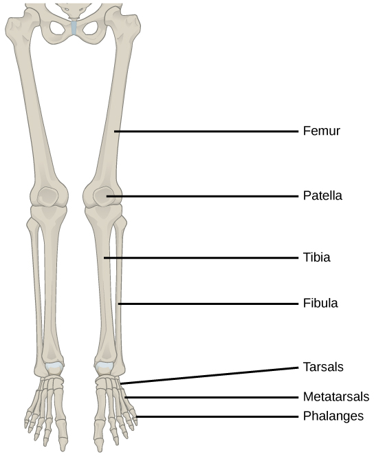 Illustration shows a leg. The bone of the upper leg is the femur. The tibia is the thicker, front bone of the lower leg, and the fibula is the rear bone. The tarsals are the bones of the ankle. The metatarsals are the bones of the foot, and the phalanges are the bones of the toes.