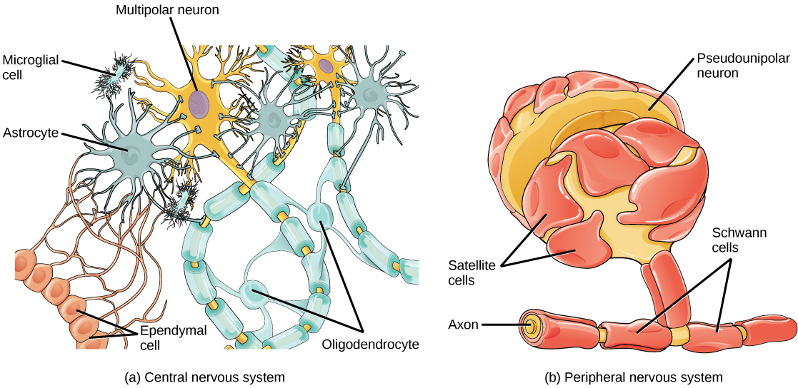 an overview of the neural tissue Nervous tissue - anatomy & physiology revision about the structure and functions of human tissue types nervous tissue consists of two types of cells they are called neurons and neuroglia, of which only neurons transmit nerve impulses.
