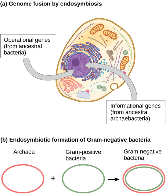 Part A shows a eukaryotic cell. The illustration indicates that, within the nucleus, operational genes were inherited from an ancestral Eubacteria, and informational genes were inherited from an ancestral Archaebacteria. Part B indicates that the outer membrane of Gram-negative bacteria is derived from Archaea, and the inner membrane is derived from Gram-positive bacteria.