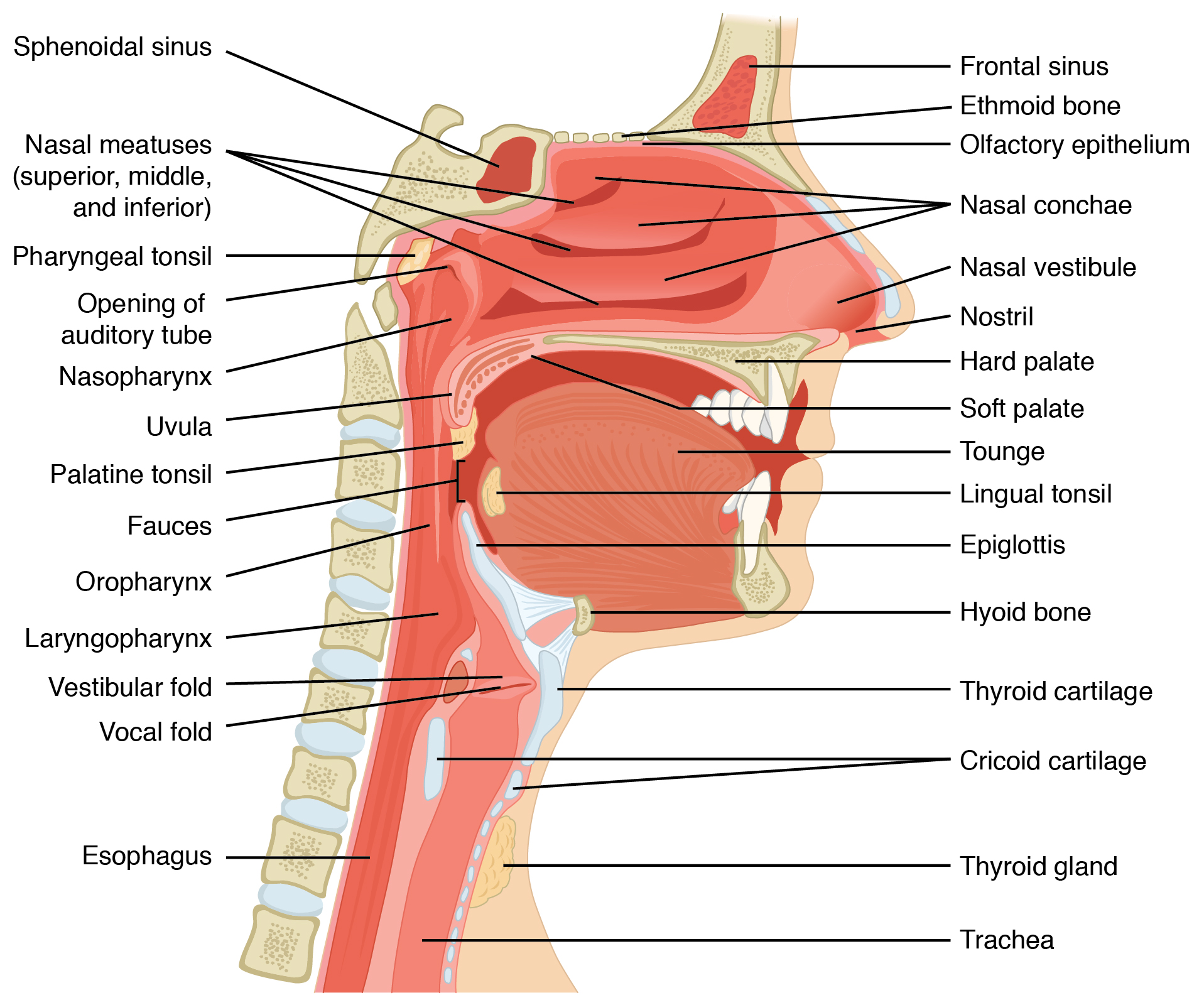 Mouth Anatomy Quiz Anatomy of Nose Pharynx Mouth