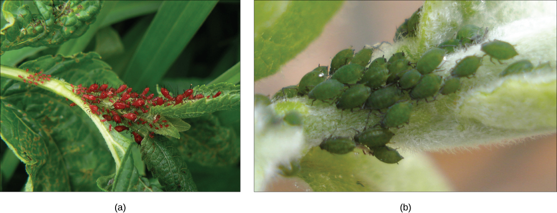 Photo a shows small, oval-shaped red aphids crawling on a leaf. Photo b shows green aphids.
