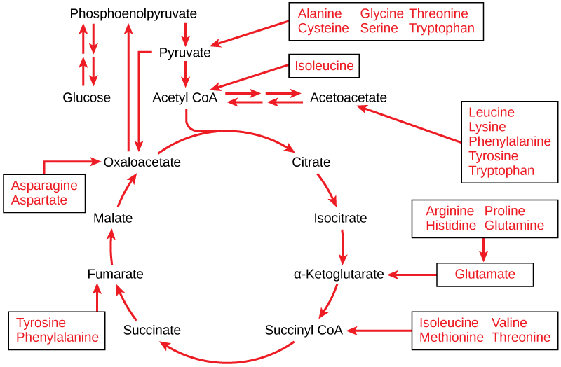 This illustration shows that the amino acids alanine, glycine, threonine, cysteine, and serine can be converted into pyruvate. Leucine, lysine, phenylalanine, tyrosine, tryptophan, and isoleucine can be converted into acetyl CoA. Arginine, proline, histidine, glutamine, and glutamate can be converted into α-ketoglutarate. Isoleucine, valine, methionine, and threonine can be converted into succinyl CoA. Tyrosine and phenylalanine can be converted into fumarate, and aspartate and asparagine can be converted into oxaloacetate.