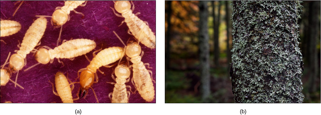 Photo (a) shows yellow termites and photo. Photo (b) shows a tree covered with lichen.