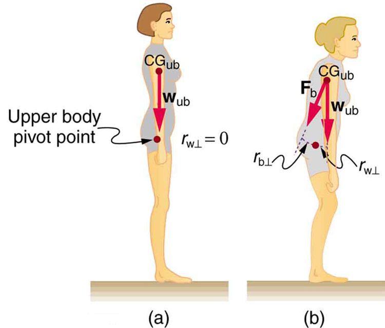 forces and torques in muscles and joints, Muscles