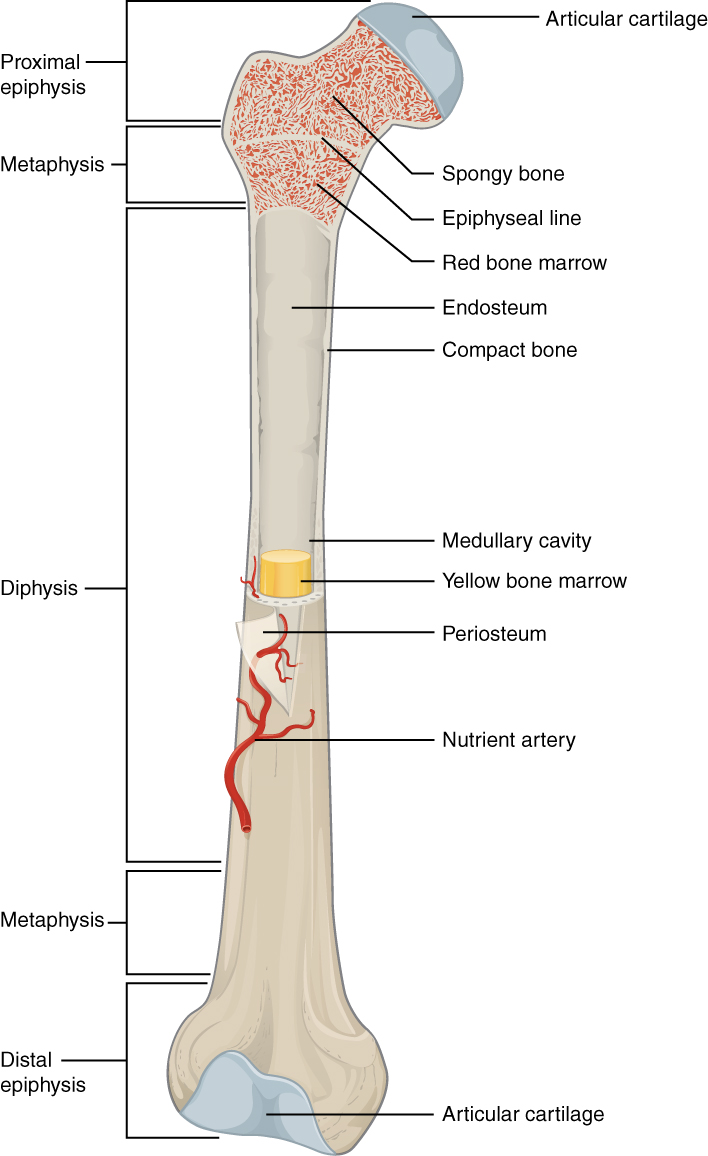 Bone Structure Anatomy Physiology Openstax Cnx