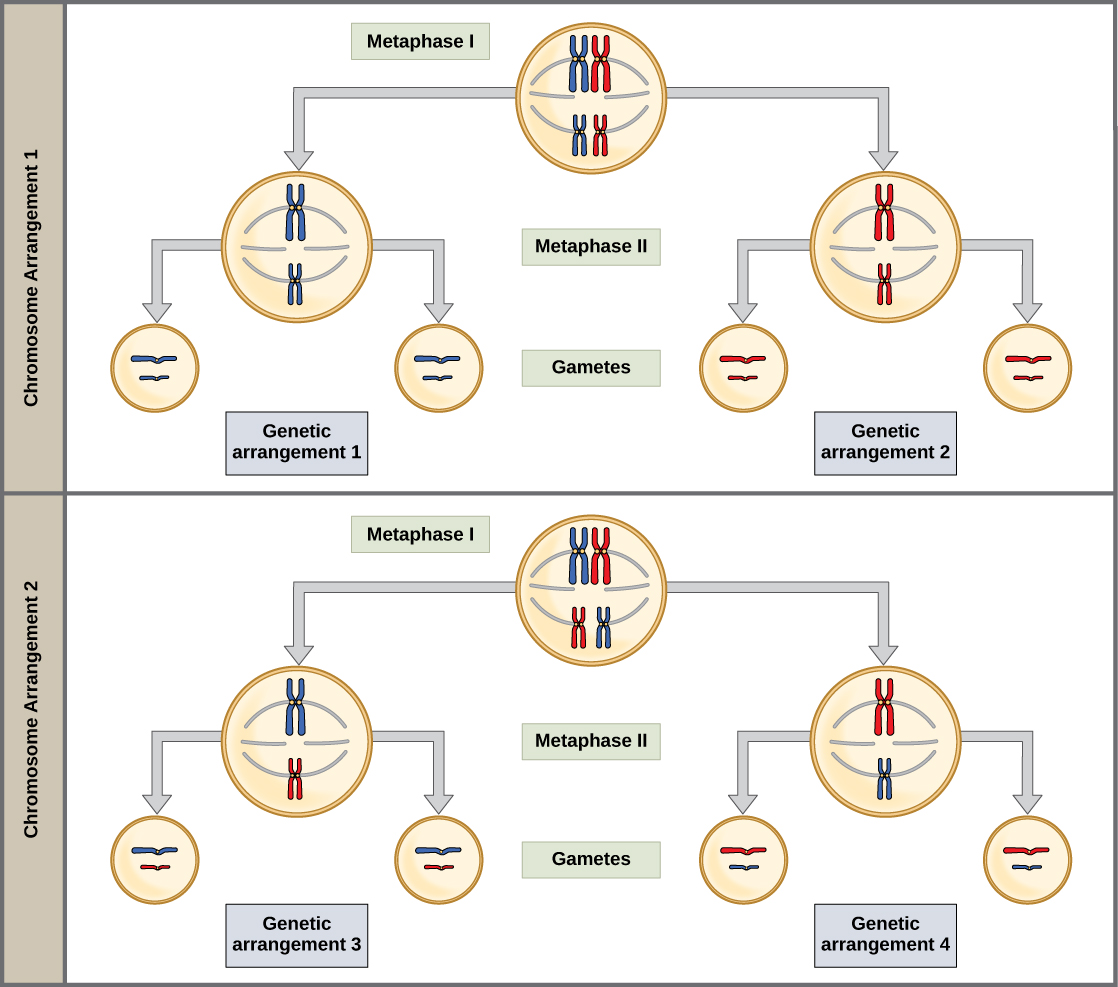 Concept Map Comparing Mitosis And Meiosis.The Process Of Meiosis Boundless Biology