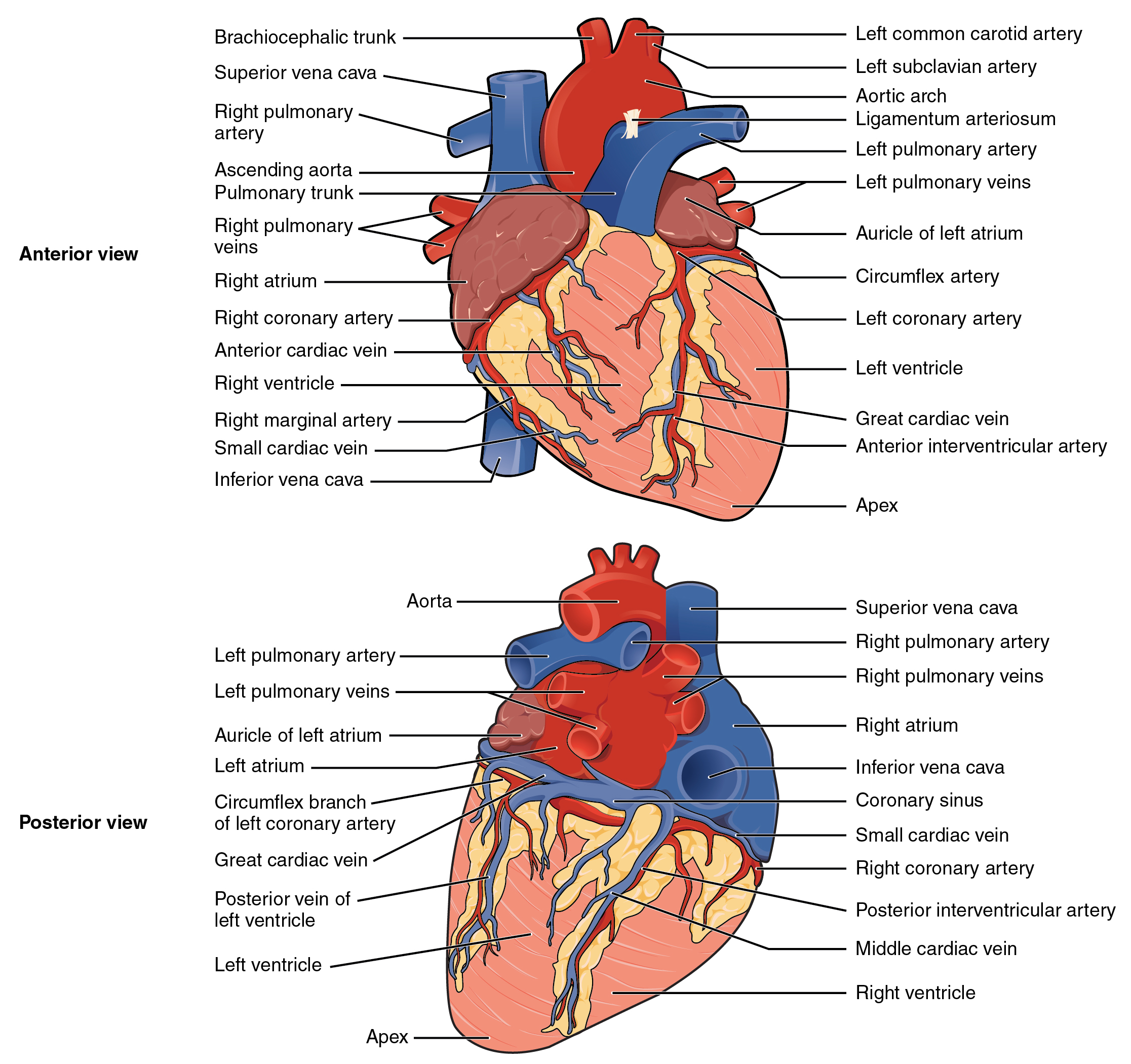 External Picture Of The Heart Contemporary Health Issues