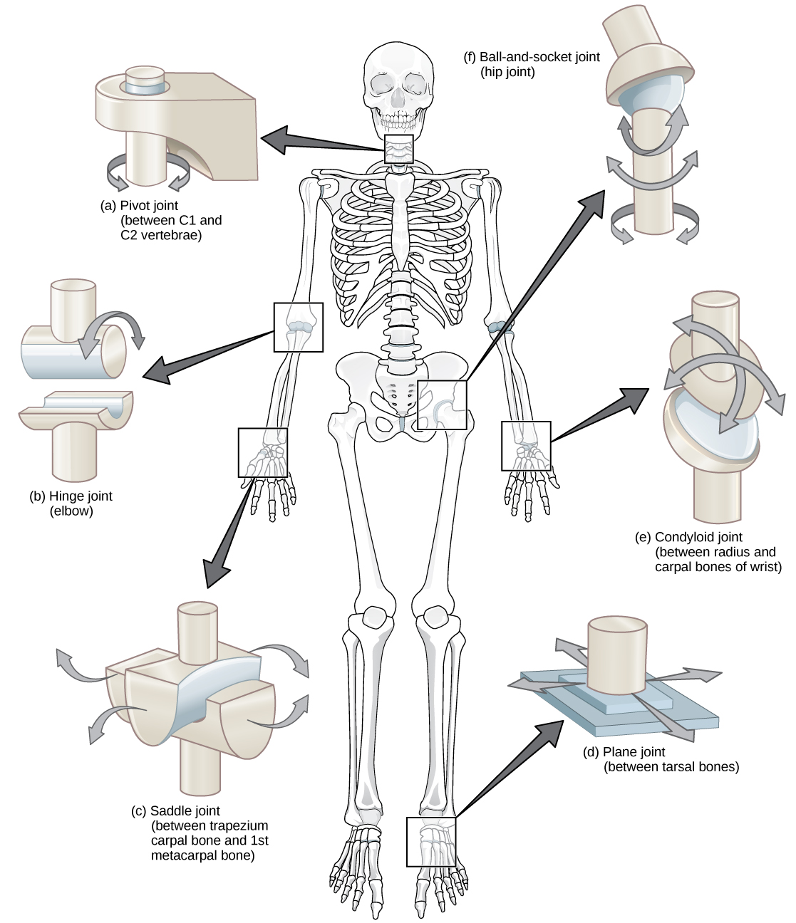 Joints And Skeletal Movement Boundless Biology